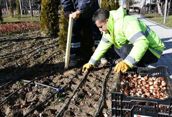 Belediyeden 25 Bin Adet Lale Soğanı