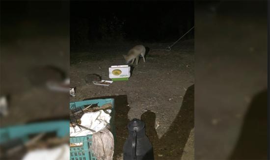 'Minnoş' adını verdiği tilkiyi yiyecekle kendine alıştırdı
