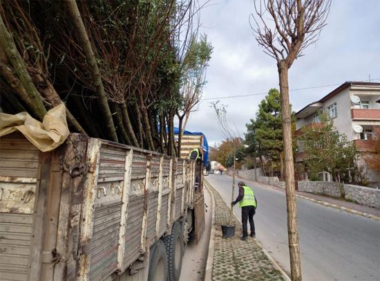 Safranbolu Belediyesi yol kenarlarına ağaç dikiyor